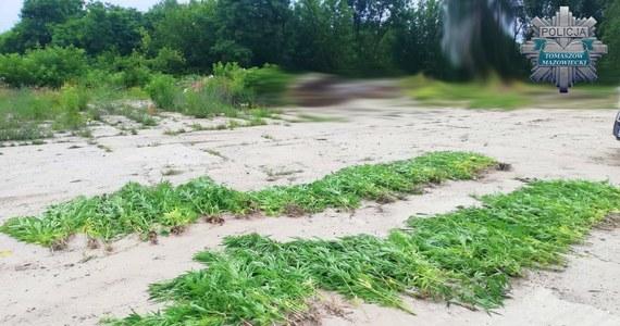 """""""Policjanci zlikwidowali nielegalną plantację konopi indyjskich"""" - na peryferiach Tomaszowa Mazowieckiego, na opuszczonej posesji w dorzeczu Pilicy, rosło ponad 400 krzaków tej rośliny, niektóre z nich miały ponad 2,5 metra wysokości."""