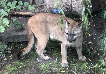 Puma Nubia przejdzie w chorzowskim zoo kwarantannę i badania