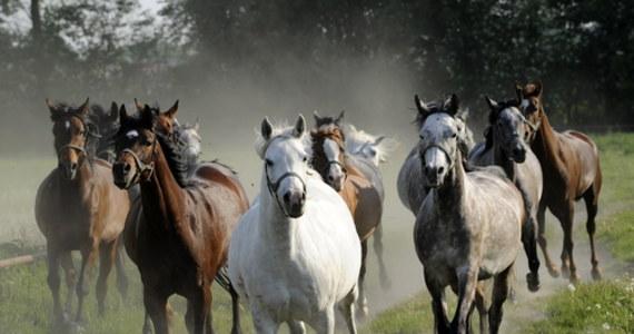 W narodowym czempionacie koni arabskich w Janowie Podlaskim weźmie udział rekordowa liczba 150 koni 40 właścicieli, w większości z prywatnych hodowli. Taką informację przekazał prezes Polskiego Klubu Wyścigów Konnych Tomasz Chalimoniuk.
