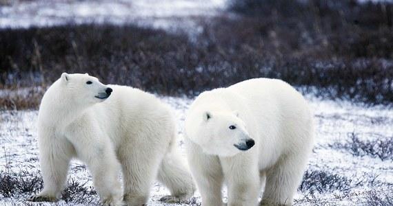 Około 2100 roku przy życiu pozostanie już niewiele niedźwiedzi polarnych. Tak przekonują naukowcy, który ponawiają apele o walkę z efektem cieplarnianym.
