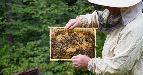 Kompozycję ekstraktów z grzyba z Puszczy Białowieskiej - złotoporka niemiłego - chce opatentować Politechnika Białostocka jako podstawę do opracowania naturalnego leku na groźną chorobę zakaźną pszczół - zgnilca złośliwego.