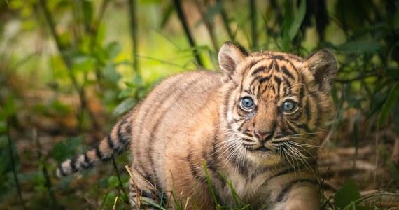 Tygrys sumatrzański przyszedł na świat we wrocławskim zoo 23 maja. To pierwszy osobnik tego krytycznie zagrożonego gatunku urodzony od 8 lat w Polsce. Dwumiesięczna kotka wychodzi od kilku dni na wybieg, gdzie pod czujnym okiem matki – Nuri, poznaje świat.