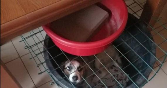 """Inspektorzy OTOZ Animals odebrali starszemu małżeństwu z Olsztynka trzy psy, które zamiast legowisk miały duże miski oraz psa, który w mieszkaniu uwiązany był na łańcuchu. W ocenie działaczy Animals """"sprawa nie mieści się w głowie"""", w ocenie pracowników gminy właściciele kochali zwierzęta."""
