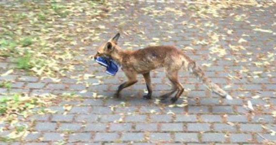 Mieszkańcom dzielnicy Zehlendorf w Berlinie ukradziono ponad sto butów. Złodziejem okazał się lis, który znosił swoje łupy w jedno miejsce.