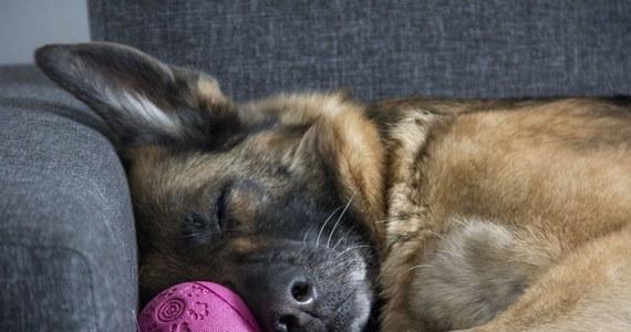 Nowojorska rodzina z Long Island powiadomiła, że nie żyje ich owczarek niemiecki. Był pierwszym w USA psem z pozytywnym wynikiem na obecność Covid-19. Zaczął mieć problemy z oddychaniem w połowie kwietnia.
