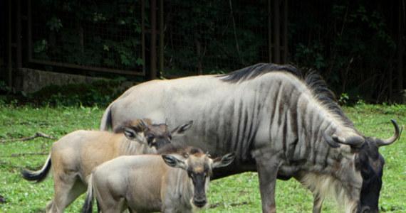 Po raz pierwszy od trzech lat w Polsce przyszły na świat gnu białobrode. Ten niezwykły gatunek antylopy, na co dzień żyjący w Afryce, można spotkać we wrocławskim zoo.