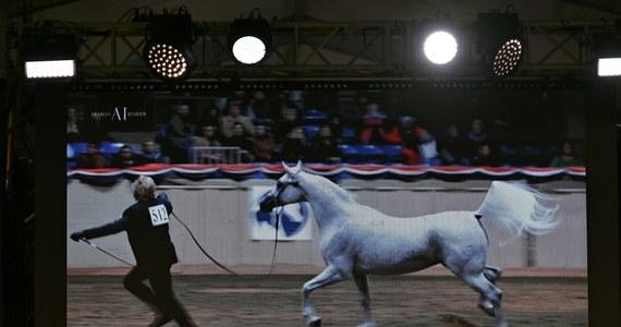 """Klacz Perfinka wyhodowana w stadninie koni w Białce została sprzedana za 1 mln 250 tys. euro podczas aukcji koni arabskich czystej krwi """"Pride of Poland"""" w Janowie Podlaskim (Lubelskie). Wylicytował ją nabywca z Arabii Saudyjskiej. W sumie w czasie aukcji sprzedano 10 koni za łączną kwotę 1 mln 587 tys. euro."""