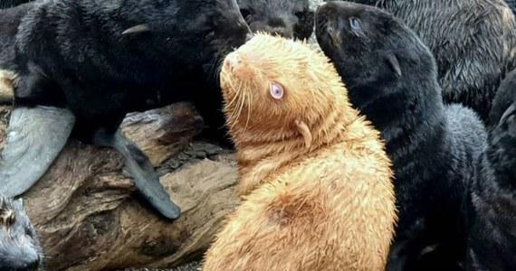 """Zwierzę o nietypowym dla swojego gatunku ubarwieniu urodziło się niecały miesiąc temu na wyspie Tyuleny na Morzu Ochockim. Naukowcy nazwali je """"brzydkim kaczątkiem"""". Młoda foka będzie pod opieką biologów, którzy zapewnią jej bezpieczeństwo."""