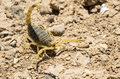W Australii jest coraz więcej skorpionów. Czym to jest spowodowane?