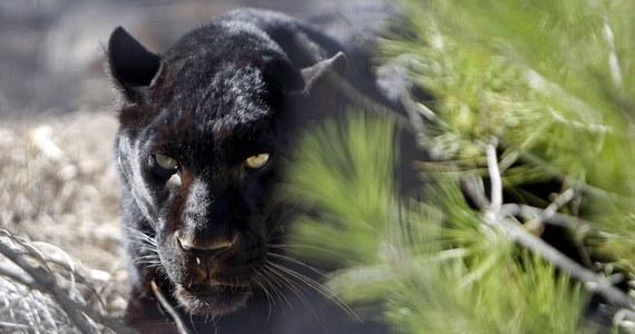 Mieszkańcy miasteczka Ventas de Huelma koło Granady w hiszpańskiej Andaluzji od kilku dni nie wychodzą wieczorami z domów. Obawiają się czarnej pantery, która rzekomo grasuje w okolicy. Do jej poszukiwań włączyła się Gwardia Cywilna.