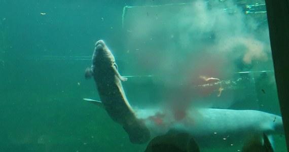 Wrocławskie ZOO świętuje narodziny samicy manata. To wodny ssak, którego naturalnym środowiskiem jest wybrzeże Oceanu Atlantyckiego. Ogród ze stolicy Dolnego Śląska w trzy lata dochował się aż 4 młodych tego zagrożonego gatunku. Najmłodsze ma zaledwie 6 dni.