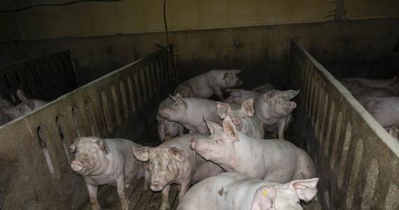 Niemieckie biuro ochrony zwierząt (Deutsches Tierschutzbuero) opublikowało kolejne materiały dotyczące skandalicznego traktowania świń w zakładach Toennies. Na filmie, który został umieszczony w serwisie YouTube widzimy, że zwierzęta są w fatalnym stanie, mają krwawiące rany, ogromne guzy i ropnie. Pośród żywych świń leżą też martwe.