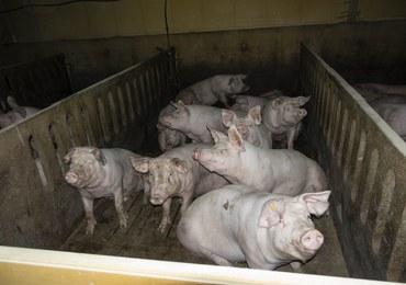 Krwawiące rany, martwe świnie wśród żywych. Wstrząsające nagranie