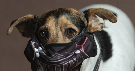 """Belgijski rząd ma nowy pomysł na walkę z koronawirusem. Specjalnie wyszkolone """"korona psy"""" pomogą w wykrywaniu infekcji Covid-19 na lotniskach, festiwalach i innych grupowych wydarzeniach."""