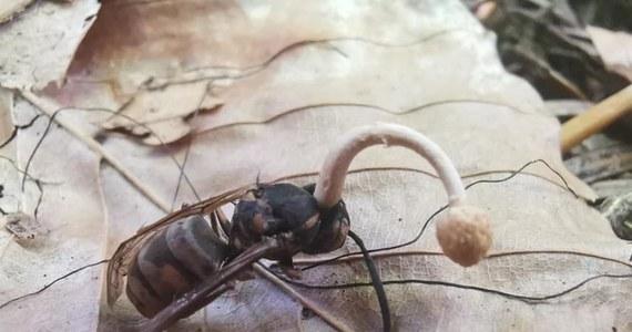 Lasy Państwowe na Twitterze pokazały ciekawe zjawisko, do którego dochodzi w polskich lasach. Na zdjęciu widać osę, z której głowy wyrasta grzyb.