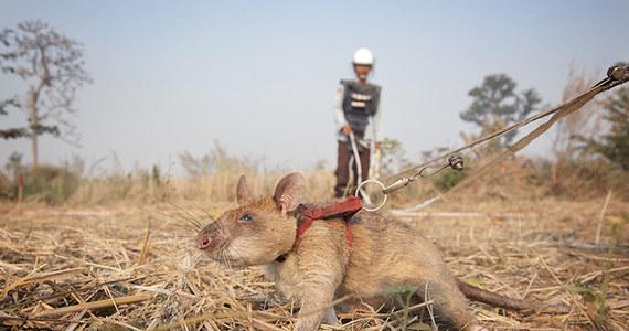 Wielkoszczur gambijski o wdzięcznym imieniu Magawa został uhonorowany prestiżowym złotym medalem za swoją pracę: zajmuje się wykrywaniem min w Kambodży.