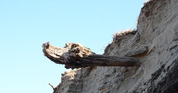 """Przez minione dwa tysiące lat aktywność wulkaniczna kształtowała klimat w większym stopniu, niż myśleliśmy - pisze na łamach czasopisma """"Dendrochronologia"""" grupa naukowców z University of Cambridge. Wyniki badań przeprowadzonych uczonych na próbkach 9000 żywych i martwych drzew wskazują na to, że wulkany w istotnym stopniu wpływały w tym okresie na historię Ziemi, zwiększając zakres naturalnych wahań temperatury i przyczyniając się do zmian społecznych i ekonomicznych."""