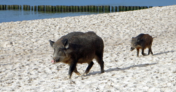 W niedzielę obchodziliśmy Światowy Dzień Zwierząt. W nietypowy sposób postanowiły go obchodzić dziki. Wyszły na spacer plażą w Międzyzdrojach.