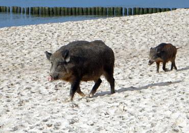 Tego turyści się nie spodziewali! Dziki na plaży w Międzyzdrojach