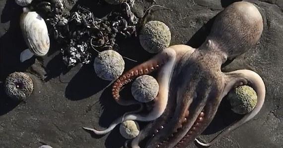 """Plaże na Kamczatce w północno-wschodniej Rosji od pewnego czasu pokryte są martwymi zwierzętami morskimi – pisze brytyjski """"The Guardian"""". Eksperci obawiają się, że do morza dostało się paliwo rakietowe z pobliskich baz wojskowych. Greenpeace ostrzega przed ekologiczną katastrofą."""