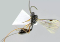 Nowy gatunek osy nazwany na cześć pandemii