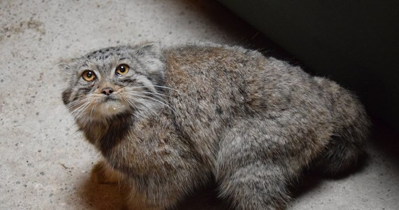 """Poznańskie zoo poinformowało o odnalezieniu poszukiwanego od soboty manula. Dzikiego kota, który otrzymał imię Magellan, złapano po sygnale od osoby, która zauważyła go w pobliżu ogrodu. """"Manul jest już bezpieczny, po podaniu środków na odrobaczenie i wzmocnienie odporności, nadal mocno na nas obrażony, nakarmiony, odsypia teraz przygodę życia"""" - poinformowano na facebookowym profilu ogrodu."""