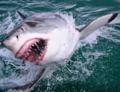 Rekiny coraz częściej atakują ludzi. Możliwe wyjaśnienie przeraża...