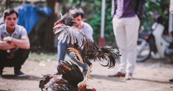 Policjant z Filipin zginął podczas nalotu na miejsce, w którym odbywały się zakazane w czasie pandemii koronawirusa walki kogutów. Jeden z ptaków wykorzystywanych do walk przeciął tętnicę udową oficera metalowym ostrzem przytwierdzonym do nogi.