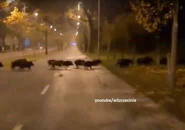 Szczecin: Dziki zaskoczyły rowerzystę [WIDEO]