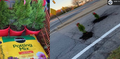 Choinki w dziurach - zaskakujący sposób na naprawę dróg