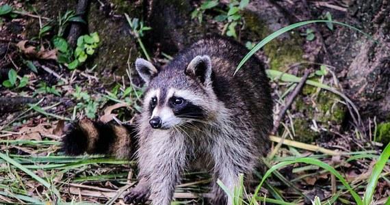 Poszukiwania szopa pracza trwają w lasach na terenie Warszawy. Zwierzę, które prawdopodobnie uciekło z prywatnej hodowli, uchwyciła fotopułapka. Szop pracz - jak podkreślają eksperci - nie jest naszym rodzimym gatunkiem. Jako drapieżnik może być niebezpieczny dla lokalnych zwierząt.