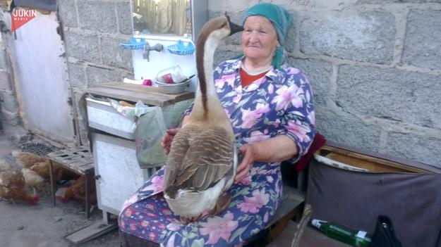 Mówi się, że ludzie na wsi żyją bliżej natury, mając m.in. kontakt ze zwierzętami. Kto by jednak pomyślał, że relacje na linii człowiek-zwierzę mogą być aż tak towarzyskie? Pewna gęś wskoczyła na kolana starszej pani i z odrobiną przekory opowiadała jej o sprawach sobie wiadomych. Kobieta cierpliwie wysłuchiwała zwierzeń i nic sobie nie robiła z niewygód. Zobaczcie