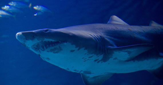55-letni mężczyzna uprawiający bodyboarding w stanie Australia Zachodnia został w niedzielę zaatakowany przez rekina i zmarł. Jest ósmą w tym roku ofiarą śmiertelną rekinów w Australii - podała agencja AP.