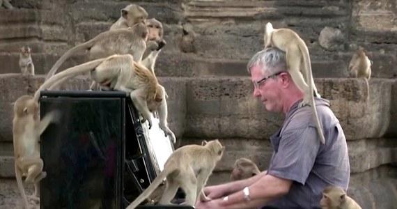 """Barton stał się prawdziwą gwiazdą rocka dla setek dzikich małp. Do tajskiej prowincji Lop Buri opanowanej przez """"małpie gangi"""" przybywa mniej turystów, którzy zazwyczaj karmili niesforne zwierzęta. Brytyjczyk postanowił, że muzyka klasyczna grana przez niego na pianinie ukoi małpi głód."""