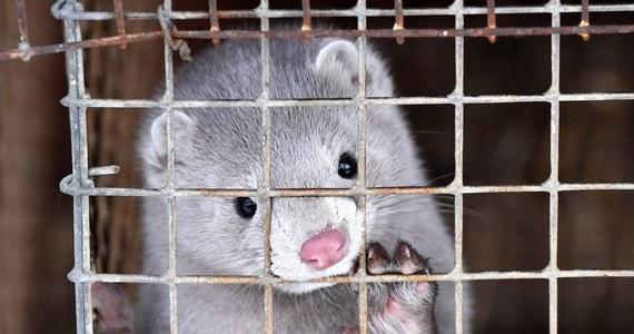 Nie ma decyzji w sprawie norek z fermy na Pomorzu, zakażonych koronawirusem. Jak informuje reporter RMF FM, badania, które potwierdziły zakażenie u kilku zwierząt, nie były przeprowadzone na zlecenie inspekcji weterynaryjnej. Trzeba je więc powtórzyć.