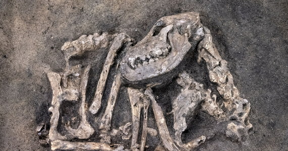 W Ljungaviken w Szwecji znaleziono szkielet psa, który został pochowany, jak się szacuje, ok. 8 400 lat temu. Na to niezwykłe znalezisko archeolodzy natrafili badając pozostałości osady z epoki kamienia.