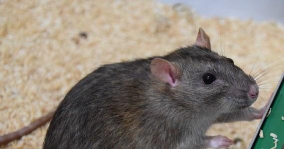 """Zmysł węchu może przydawać się do współpracy. Potwierdzają to w badaniach na szczurach naukowcy z Uniwersytetów w Getyndze i Bernie oraz St. Andrews University. Okazuje się, że jeśli tylko szczur czuje zapach innego szczura, który akurat angażuje się we współpracę, sam staje się bardziej chętny do pomocy. Pierwszą pracę, która potwierdza, że zapach może mieć znaczenie dla altruistycznych zachowań, publikuje w najnowszym numerze czasopismo """"Proceedings of the Royal Society B""""."""