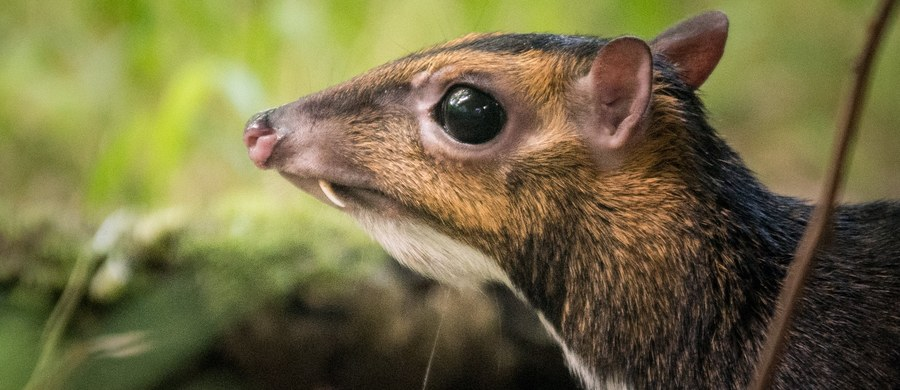 We wrocławskim zoo przyszedł na świat kanczyl filipiński, jeden z gatunków myszojeleni. Pracownikom ogrodu udało się nagrać jego narodziny. To wyjątkowa sytuacja - narodzin tego rzadkiego zwierzęcia jeszcze nikt nie uwiecznił.