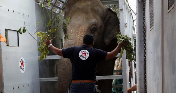 """Kaavan jest nazwany """"najbardziej samotnym słoniem na świecie"""". Po wielu latach spędzonych w pakistańskim zoo ma odbyć podróż samolotem do rezerwatu w Kambodży. Tam będzie miał zapewnione tak potrzebne towarzystwo innych przedstawicieli swojego gatunku."""