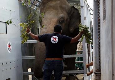 """""""Najbardziej samotny słoń świata"""" znalazł azyl w Kambodży"""