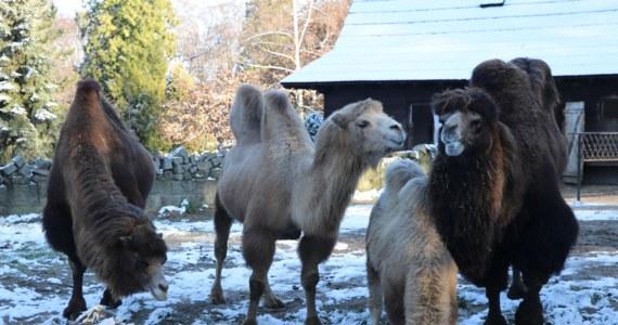 Spadł pierwszy śnieg, spadła temperatura, ale zwierzętom z krakowskiego ZOO zima niestraszna. Są do niej przygotowane. Część z nich zmieniła futra z letnich na zimowe, część przytyła, a inne schowały się przed chłodami do ciepłych schronów.