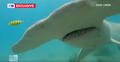 Rekin młot zaatakował nurka. Nagranie z kamery przeraża