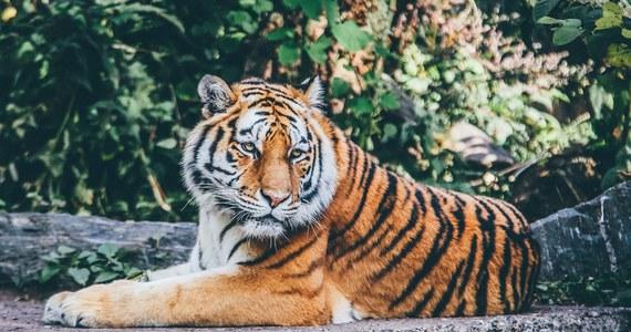 """Izba Reprezentantów przyjęła ustawę nakładającą ograniczenia na posiadanie i hodowanie lwów i tygrysów. Przyjęto ją na fali oburzenia po głośnym serialu dokumentalnym """"Tiger King"""", który ujawnił nadużycia hodowców dzikich kotów w USA."""