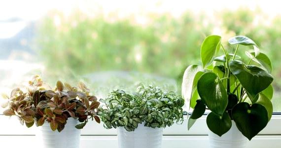Jakich Kwiatow Doniczkowych Powinni Unikac Alergicy Porady W Interia Pl