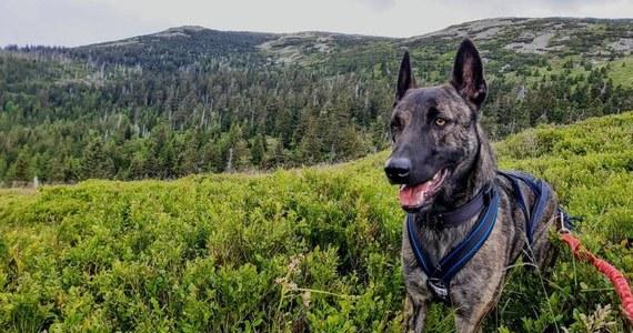 Karkonoski GOPR apeluje o dalszą pomoc w odnalezieniu psa ratowniczego. Owczarek holenderski zaginął 9 grudnia w Mysłakowicach niedaleko Jeleniej Góry. Mimo dużego odzewu, który ratownicy otrzymali w tej sprawie, do tej pory nie udało się odnaleźć czworonoga.