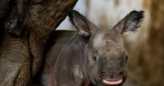 Zoo we Wrocławiu ma nową mieszkankę. Na świat przyszła tam samica nosorożca indyjskiego - jednego z gatunków najbardziej zagrożonych wyginięciem. To pierwsze takie narodziny w 155-letniej historii wrocławskiego ogrodu. Mała jest zdrowa. Pije mleko, a mama uważnie śledzi każdy jej krok.