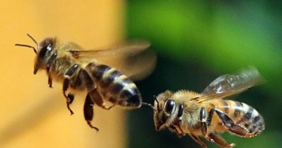 """Środki ochrony roślin z grupy neonikotynoidów przyczyniają się do wymierania pszczół, bo... utrudniają owadom sen. Piszą o tym na łamach czasopisma """"Scientific Reports"""" naukowcy z University of Bristol. Ich badania, prowadzone na pszczołach i muszkach owocowych pokazały, że pod wpływem nikotynoidów 24-godzinny zegar biologiczny owadów ulega poważnemu zaburzeniu. Tymczasem owady potrzebują odpowiedniej ilości snu - podobnie jak ludzie."""