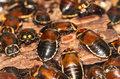 Czy karaluchy mogą przetrwać wybuch jądrowy?