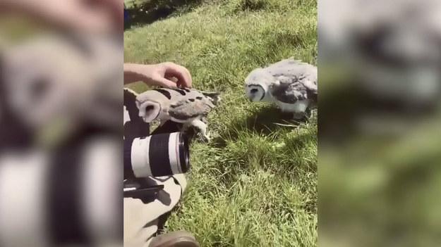 """Jak tu pracować, kiedy """"klient"""" zamiast cierpliwie siedzieć zaczyna się przymilać?  Z takim problemem musiał poradzić sobie pewien fotograf, który pracował w jednym z australijskich ośrodków ochrony ptaków. Pielęgnowane są tam młode sowy. Około siedmiotygodniowe ptaki uczy się zachowań, które pomogą im przetrwać w dziczy. W trakcie sesji okazało się, że dźwięk aparatu przypomina im sygnały poznane na szkoleniu i zamiast uśmiechać się do zdjęcia zaczęły... lgnąć do fotografa. Opiekunka młodych sówek wytłumaczyła, że ptaki zaadaptowały nogi człowieka na przytulne schronienie, w którym mogą odpocząć i zebrać siły. Właśnie takich zachowań uczy się je w ośrodku. Ciekawe tylko, czy tego dnia zdjęcia wyszły tak jak trzeba!"""