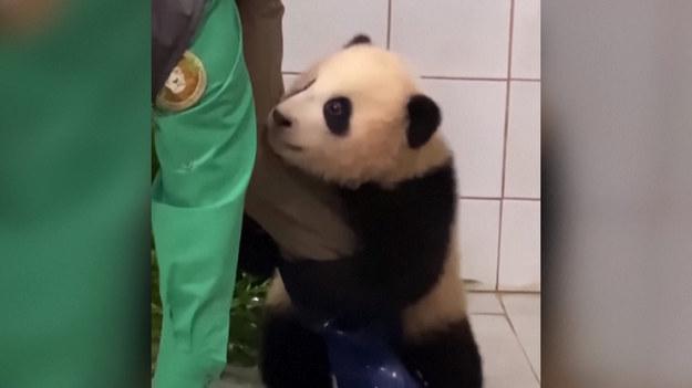 Jest pierwszą ze swojego gatunku, urodzoną w Korei Południowej. Fu Bao, czyli panda wielka z ZOO w Yongin jest wyjątkowo uroczym zwierzęciem. Na nagraniu widać, jak bardzo jest przyzwyczajona do swojego opiekuna. Gdy po regularnym ważeniu przyszedł czas na rozstanie, Fu Bao nie mogła tego zaakceptować i usilnie trzymała nogę swoje ludzkiego towarzysza.